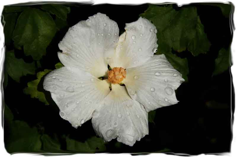Rose of Sharon Water Drops