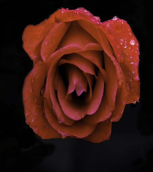 Rose upside down